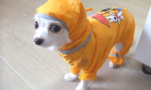 レインコート着てる犬
