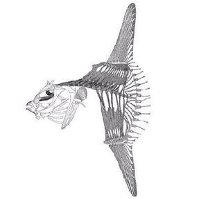 マンボウの骨格