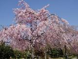 東谷山枝垂れ桜