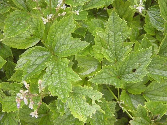 クサボタン葉