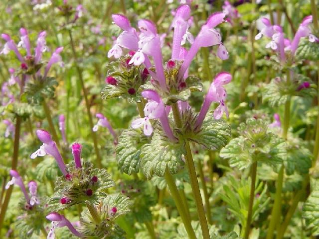 ホトケノザ花