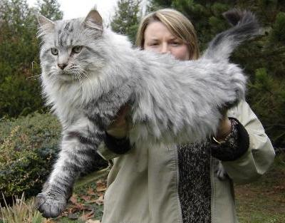 main_coon
