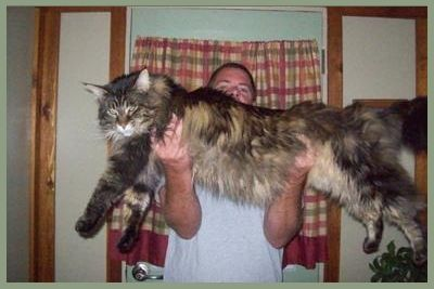 huge-maine-coon-cat-diva