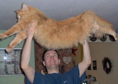huge-maine-coon-cat