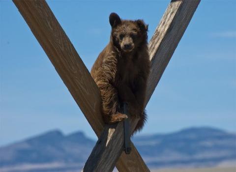 bear_01