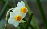18---水仙の花