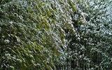 15---竹林に雪