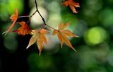 03----紅葉し始めていたモミジ葉