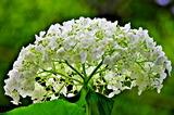 6.14----アジサイの花.2