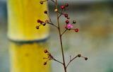 11.07----ハゼランの花