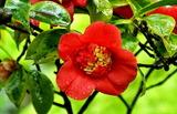 26---月光椿の花