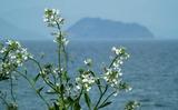 20---浜大根の花