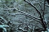 15---雪の付いた樹