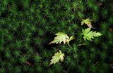 03----苔の間からカエデの新芽