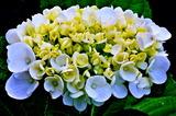 6.11----アジサイの花4