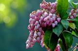 12----馬酔木の花