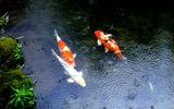 08----池の鯉