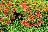 6.08----サツキの花