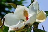 6.15----大山蓮華の花