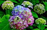 5.27----アジサイの花1