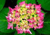 5.27----アジサイの花3