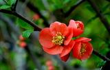 18----ボケの花