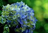 5.29----紫陽花