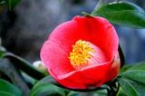 14----椿の花