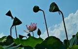 11----蓮の花2