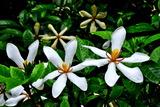 6.19----クチナシの花