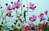 11----コスモスの花で捕食中のカマキリ