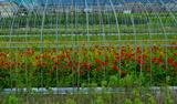 12----ケイトウの花畑