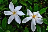 6.07----クチナシの花