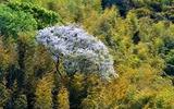 25---竹林の一本桜