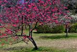 14----寒緋桜