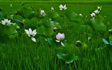 12----稲田に咲く蓮