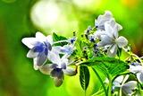 6.17----アジサイの花4