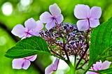 6.19----アジサイの花