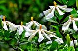 6.12----クチナシの花