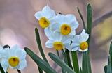 28---水仙の花