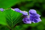 6.18----アジサイの花1