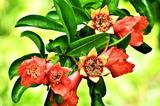 6.15----ザクロの花と実
