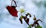 18----イバラの花