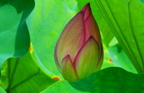 02----羽に囲まれた蓮の蕾