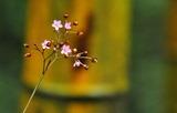 23----ハゼランの花