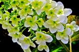 5.27----アジサイの花2