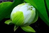 6.11----蓮の蕾白