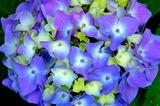 5.27----アジサイの花
