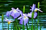 6.14----八条ヶ池の花菖蒲