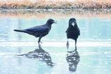 6.11----水田予定地の水中ではしゃいでいたカラスたち